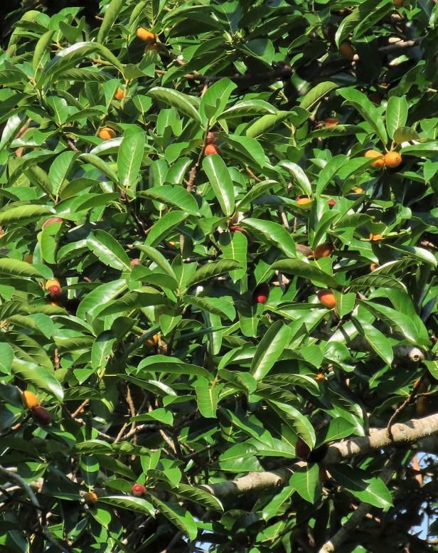 05 Ficus cucurbitina Deramakot Wong July 2020 (1)