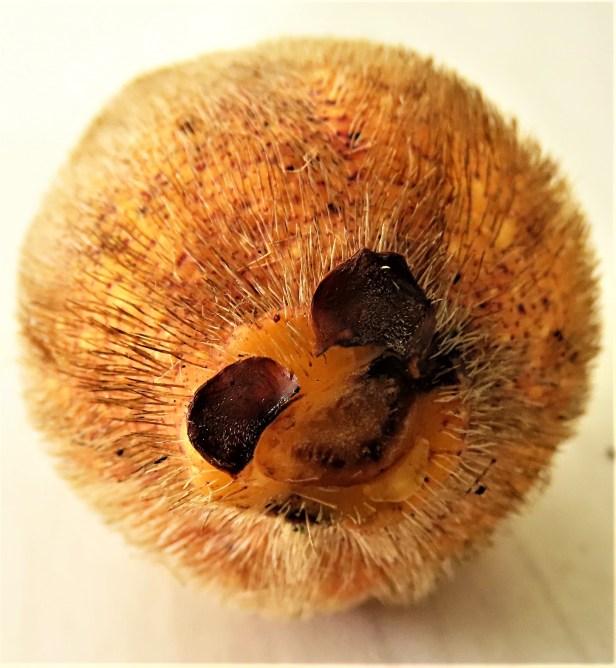 Ficus cucurbitina Deramakot Wong CX cucurb1_fruit (15).JPG