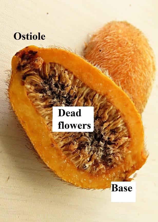 Ficus cucurbitina Deramakot Wong CX cucurb1_fruit (17) - Copy