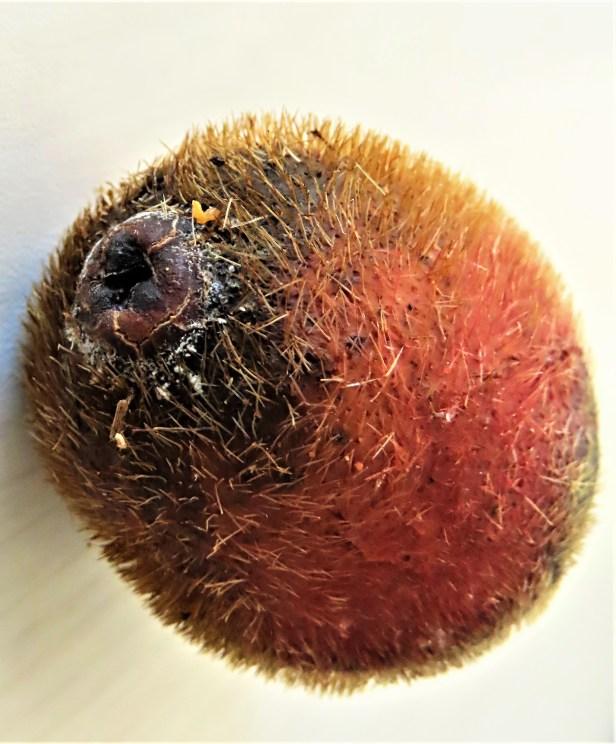 Ficus cucurbitina Deramakot Wong CX cucurb1_fruit (22).JPG