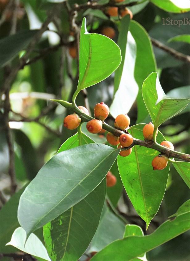 Ficus sundaica Inikea July 2020 Wong CX (11).JPG