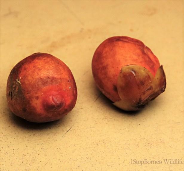 Ficus sundaica Inikea July 2020 Wong CX (5).JPG