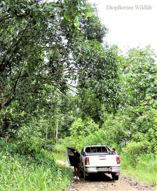 Ficus sundaica Inikea July 2020 Wong CX (9).JPG