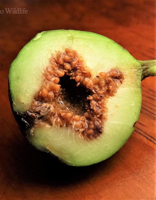 Ficus variegata green morph Gng Andrassy (10).JPG