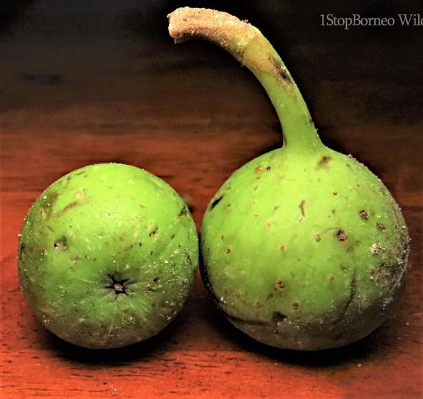 Ficus variegata green morph Gng Andrassy (6)