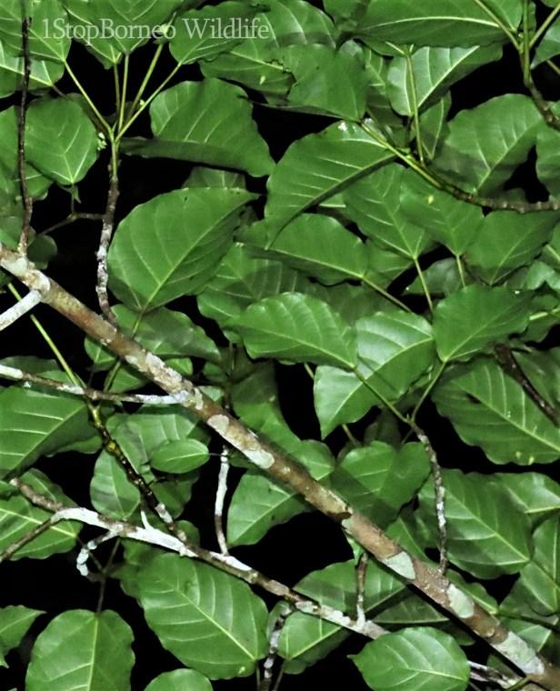 Ficus variegata red morph Bukit Andrassy (1).JPG