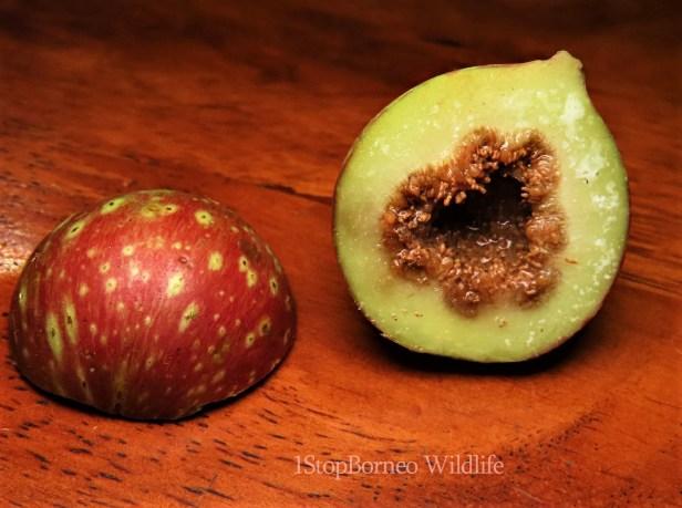 Ficus variegata red morph Gngt Andrassy (22)