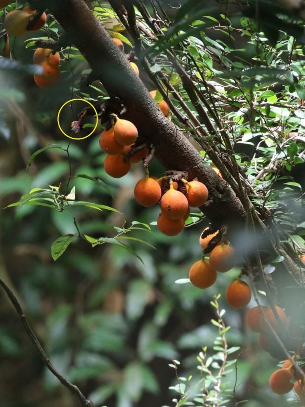 01 Ficus punctata 0C7A6751.JPG