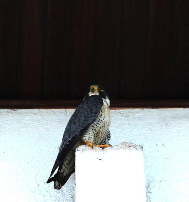 01 Peregrine Falcon Tg Aru Beach.JPG