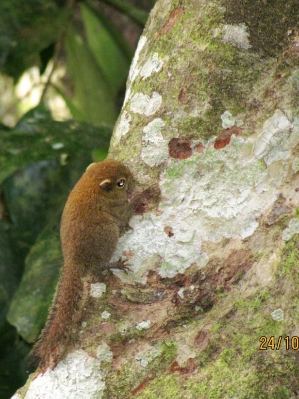 02 Bornean Pigmy Squirrel IMG_5584.JPG