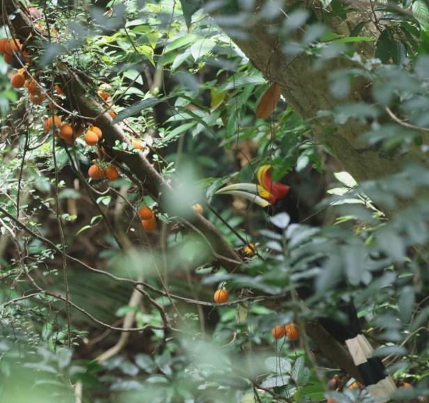03 Ficus punctata 0C7A6760.JPG