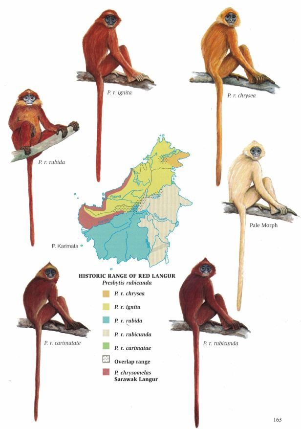 163 Red Langur - for web