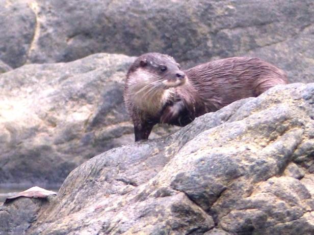 Euriasian otters Danum P1010493 (2).JPG