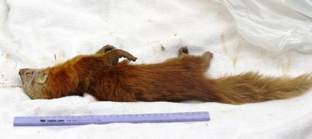 Malay Weasel Lawas 0C7A3307 - Copy.JPG