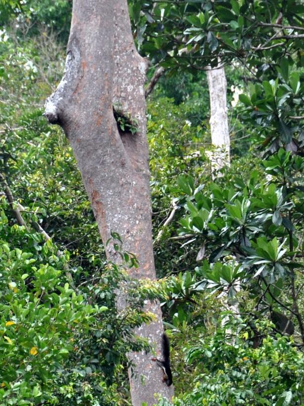 Prevosts Squirrel Kalimantan Rustam _DSC1052