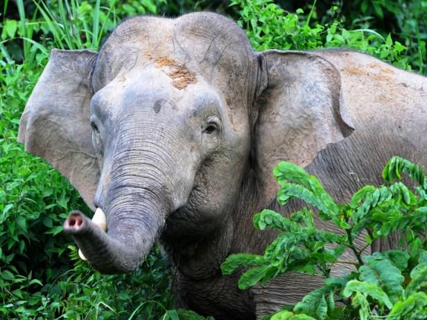 x Elephant Tabin.jpg