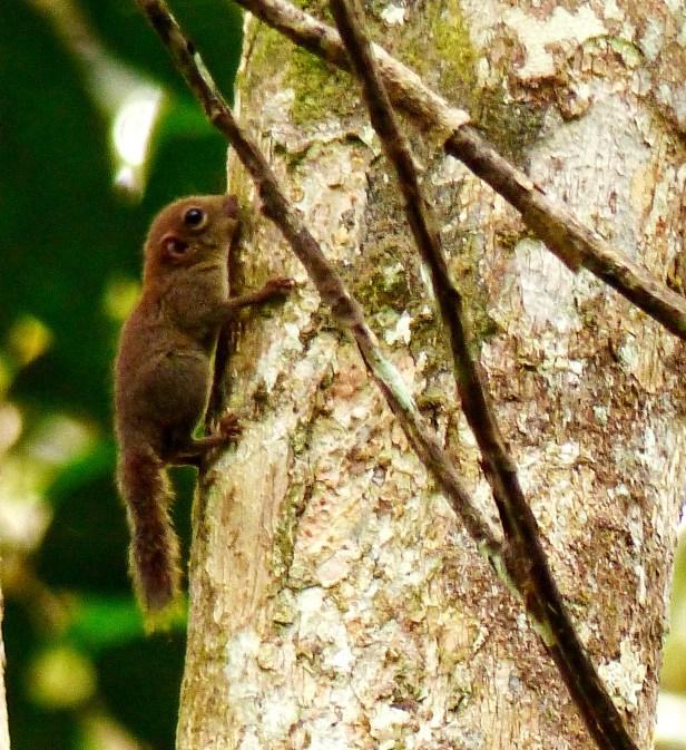 Bornean Pigmy Squirrel Kiudang.JPG