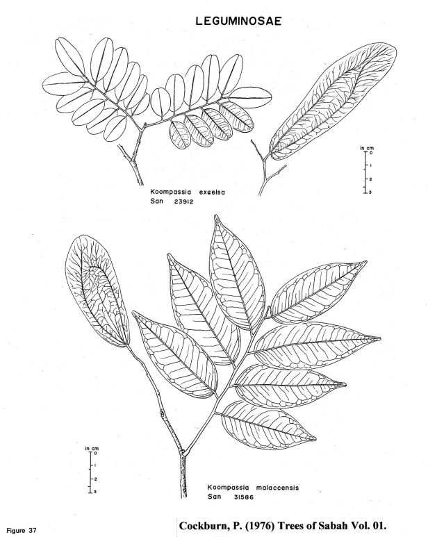 Koompasia species .jpg