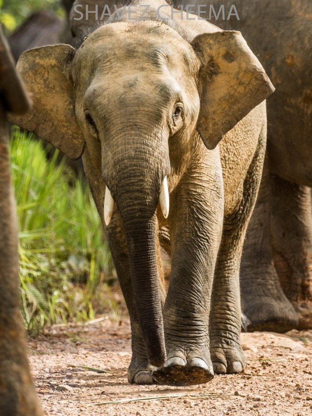 Borneo Elephant 1.jpg