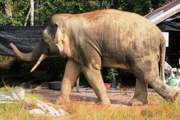 Borneo elephant Sabah 3N1A2026