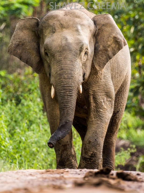 Borneo elephant young male 3N1A8150