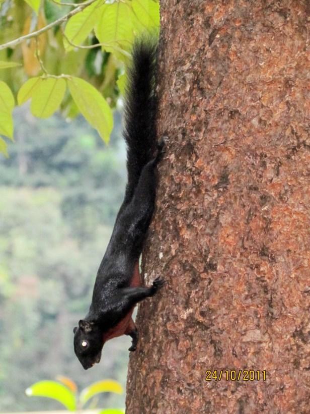 Prevost's Squirrel Borneo IMG_5863.JPG