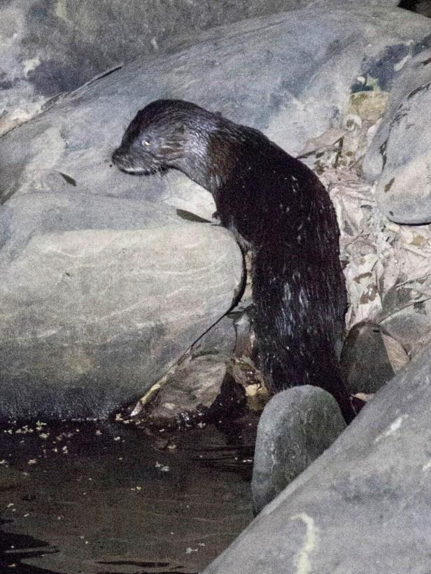 Hairy Nosed Otter 01.jpg