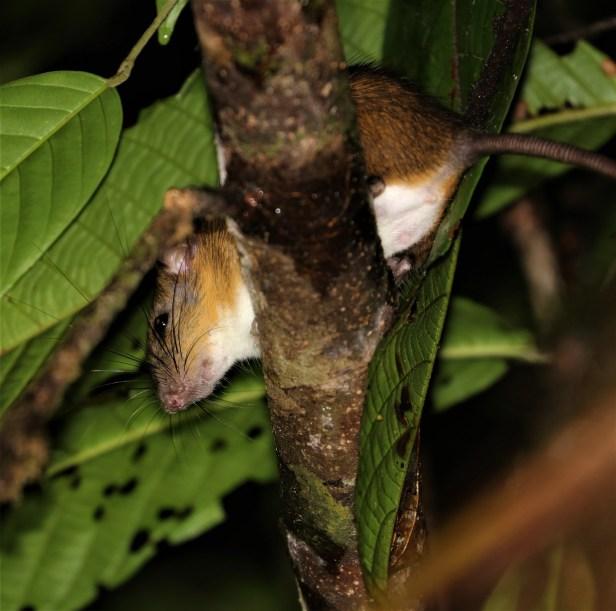 02 Adult Dark-Tailed Tree Rat Tawau-02