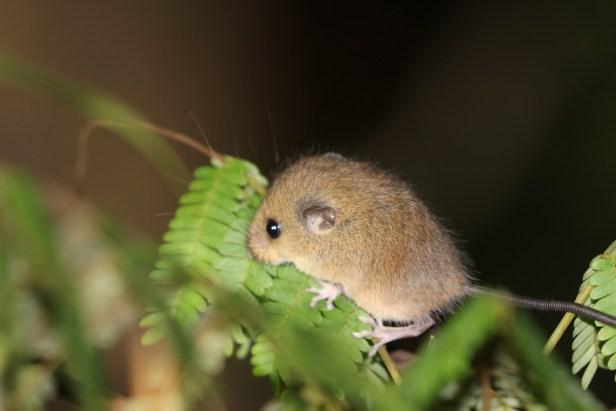 02 Ranee Mouse at Deramakot Haeromys .jpg