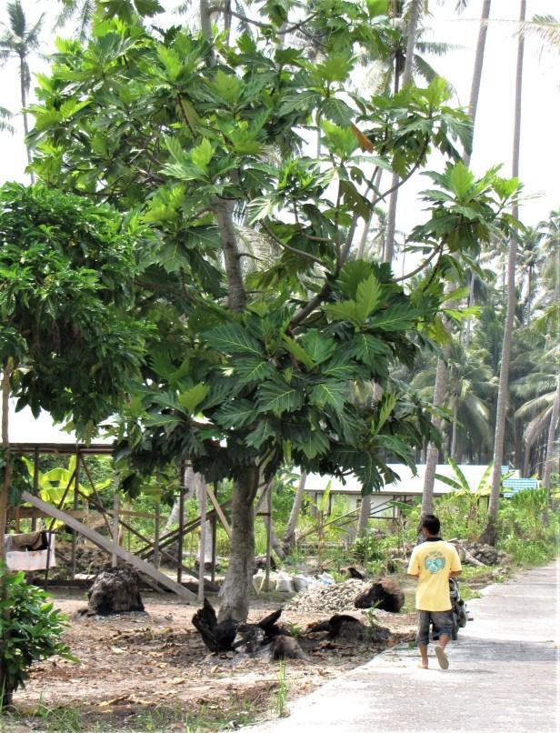 03 Maratua breadfruit IMG_5071.jpg