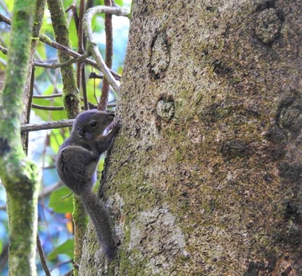 12.2 Juvenile Borneo Mt Ground Squirrel Treeshrew1-1024x768.jpg