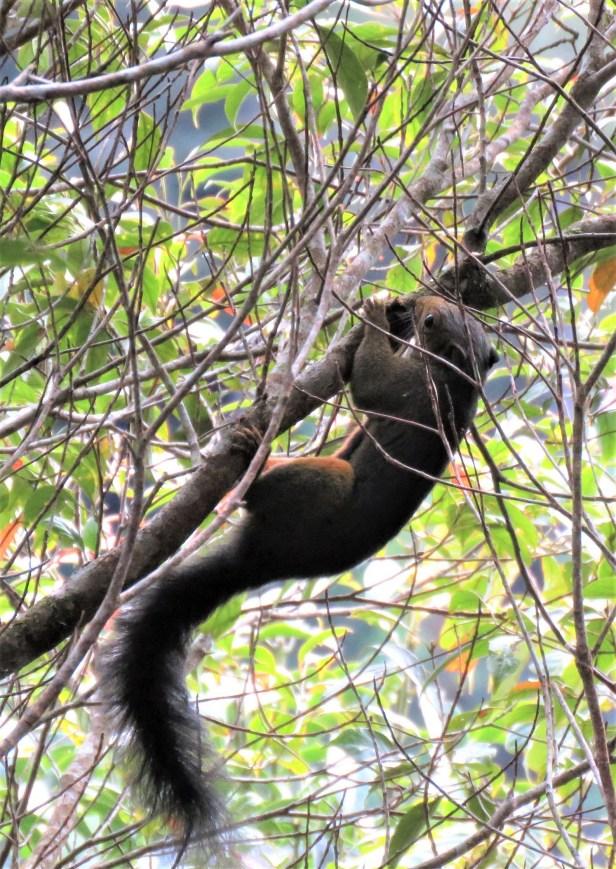 Callosciurus baluensis_201604 Kinabalu Park Timpohon gate_Bosco Chan