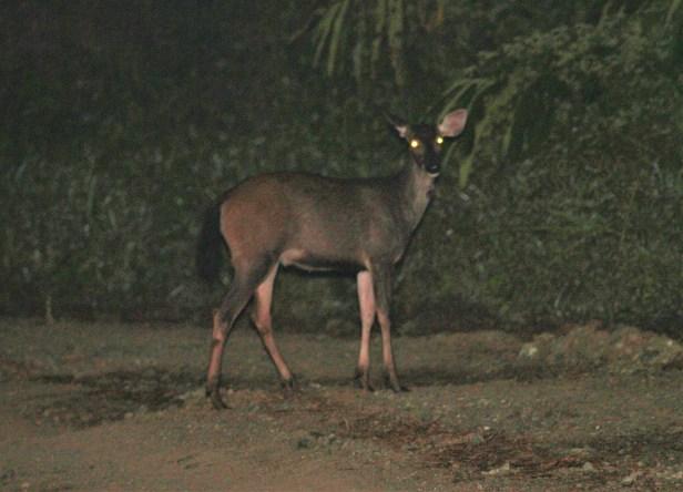 02 Sambar Deer IMG_2427.JPG