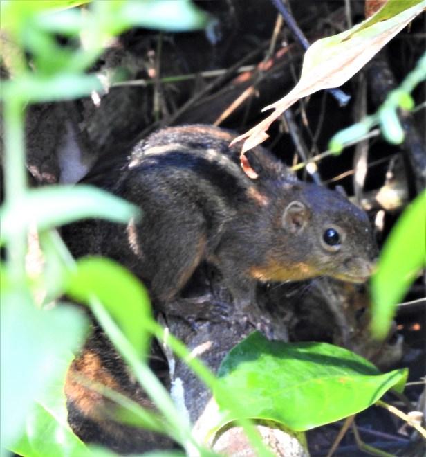 4 Striped Ground Squirrel Deramakot DSCN3514