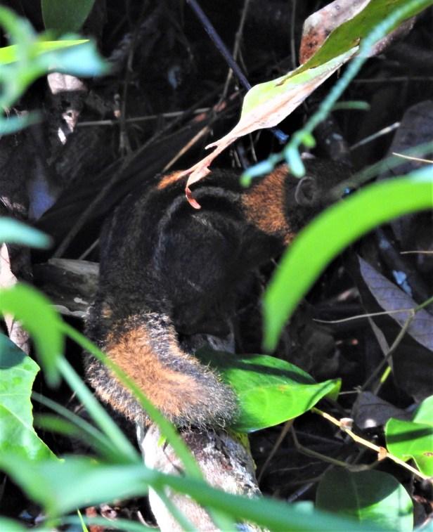 4 striped Ground Squirrel Deramakot DSCN3511.JPG