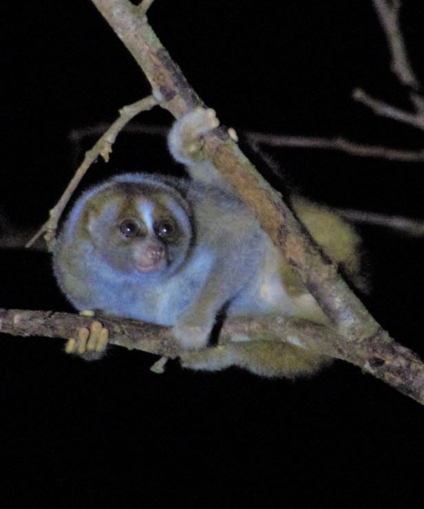 01 Slow Loris Brunei Jungle Dave P1140087