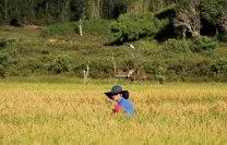 Bario_ricefields