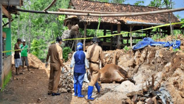 NEWS: Petugas Puskeswan Gunung Kidul saat memeriksa sapi milik warga yang mati mendadak (16/1/2020)-(Foto: istimewa)