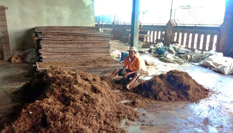 Petani tembakau saat memilah hasil panennya yang sudah kering
