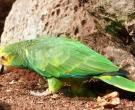 Amazona-de-hombro-gualda-(7)