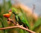 Amazona-Frentialba-(3)