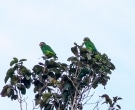 Amazona-Jamaicana-Piquiclara-(4)