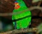 periquito-migrador-1