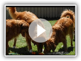 What I love about Tollers......