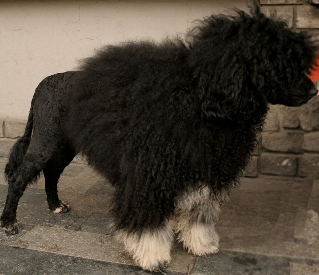 Cão de Água Português con corte León