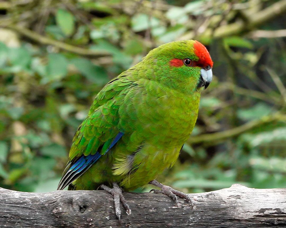 Perico Maori Rojo