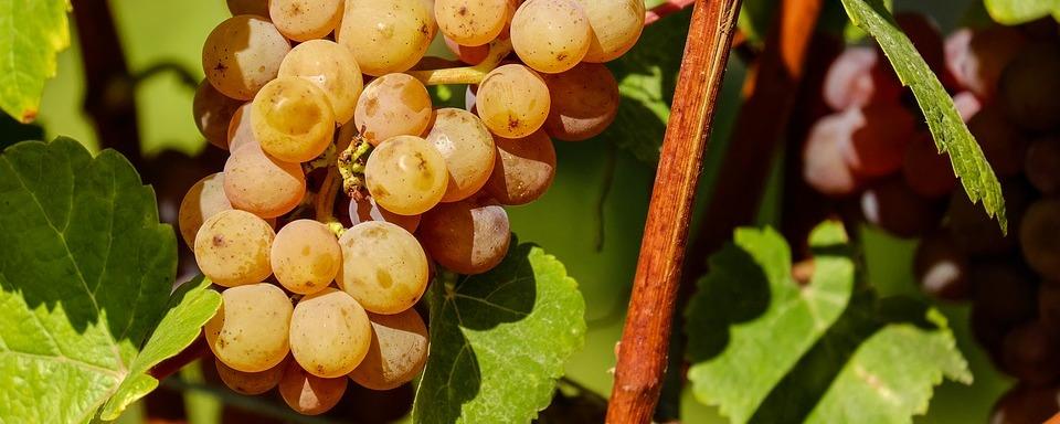 Sárga Muskotály szőlő
