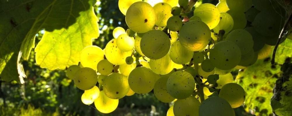 Zenit szőlő