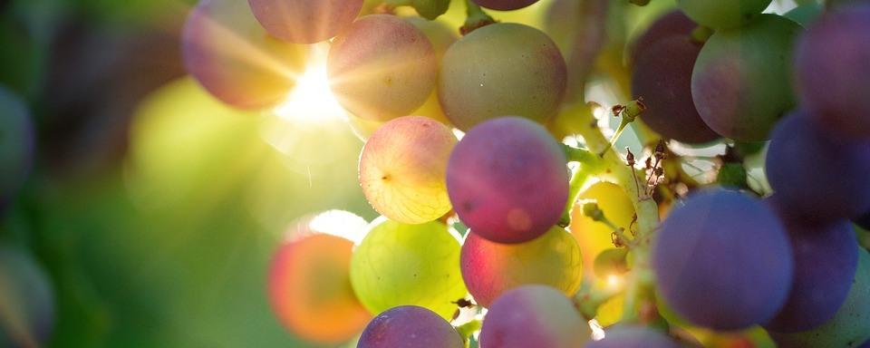 Tramini szőlő