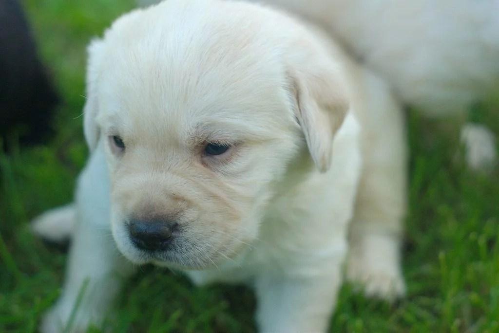 Test di Campbell cucciolo di labrador giallo